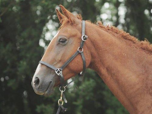Fébrile colt curly horse for sale
