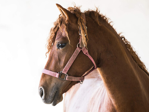 Plandesgres Truffe de Rosie filly curly horse for sale